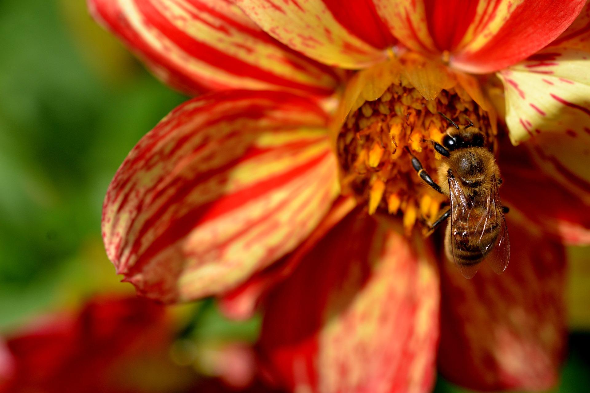 Ett bi som samlar nektar ur en gul-röd blomma.