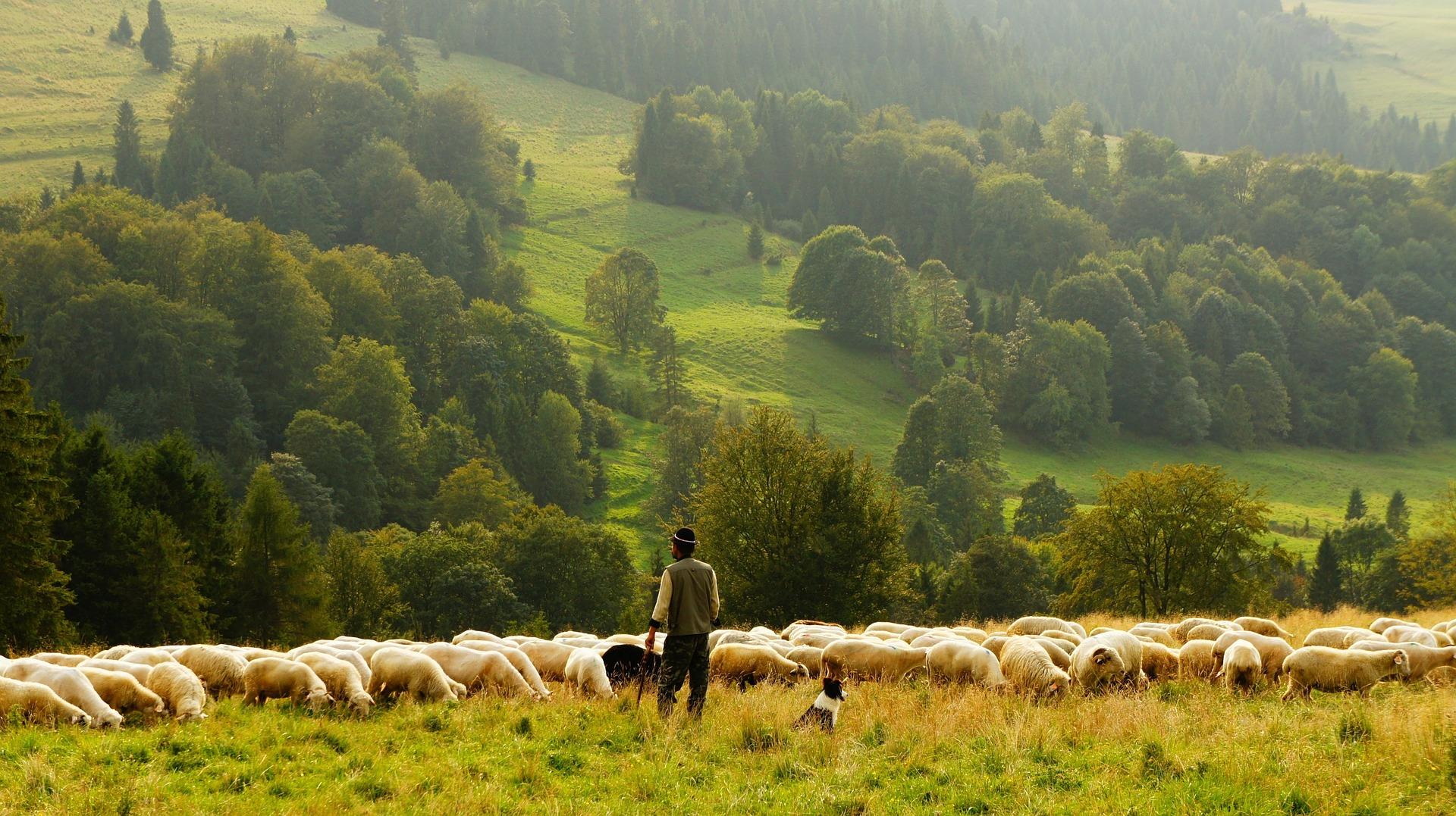 En herde med en flock med får