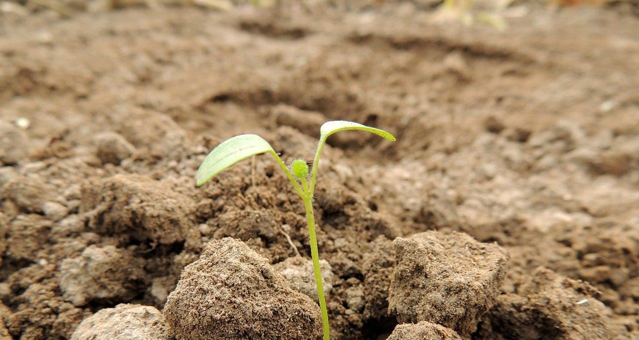 En liten grodd som trängt igenom grov jord
