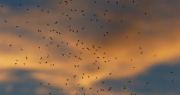 Såna myggor behövs det fler av